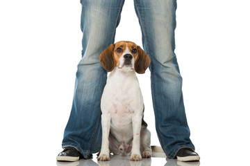 Beagle zwischen Beinen
