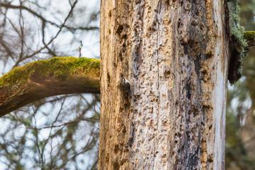 Treecreepers on a tree