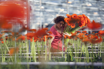 woman collects orange flowers in dutch greenhouse