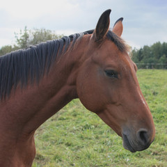 Brown horse in the countryside