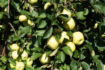 Яблоня с урожаем яблок на ветке