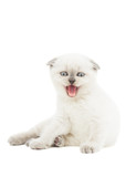 funny kitten mews on a white background poster