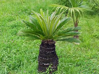 Sabal palm genus
