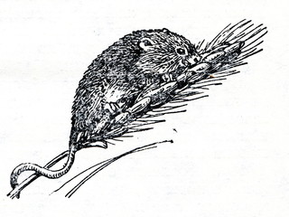 Eurasian harvest mouse (Micromys minutus)