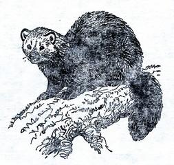 Sable (Martes zibellina)