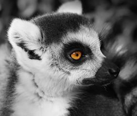 retrato de un Lemur