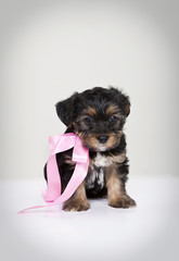 Dog Puppy with pink ribbon