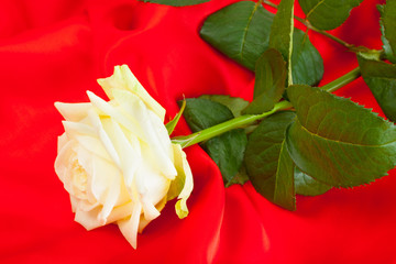 a white rose bud lying on a red cloth