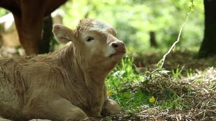Calf ruminating