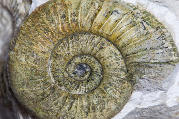 Orthosphinctes, ammonite fossile su matrice, Neumarkt, Germania