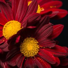 macro composition of red velvet chrysanthemum flowers on black b