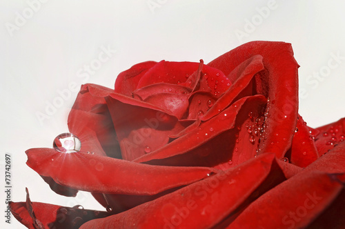 canvas print picture rote Rose im Regen