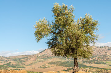 Olive tree in Morocco, Africa