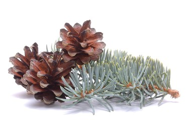 Pine cones and white spruce branch isolated on white background