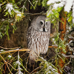 Big grey owl at tree in winter5