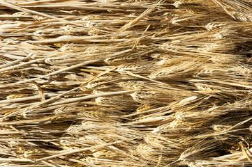 ears of barley illuminated by a warm light.