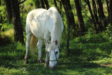 caballo blanco comiendo pastura