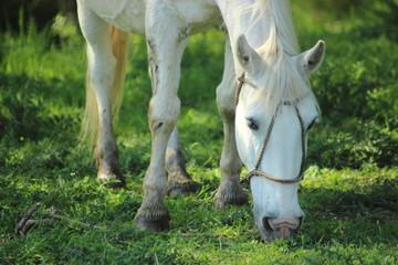 caballo blanco comiendo