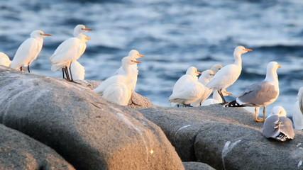 Little egrets on the rock