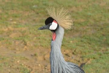 Head of Grey Crowned Crane