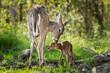 Leinwanddruck Bild - White-Tailed Deer (Odocoileus virginianus) Sniffs Behind Fawn's