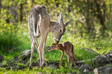 White-Tailed Deer (Odocoileus virginianus) Sniffs Behind Fawn's