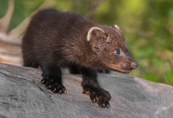 Young Fisher (Martes pennanti) Crouches on Log