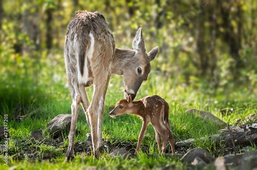 Leinwanddruck Bild White-Tailed Deer (Odocoileus virginianus) Sniffs Behind Fawn's