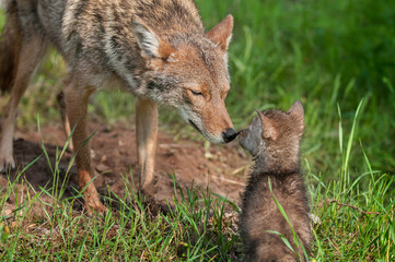 Coyote (Canis latrans) Nose Touch