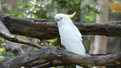 sulphur-crested cockatoo in the nature.