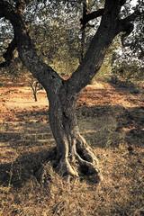 Albero di Oliva