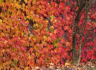 Herbstlich gefärbte Kletterpflanzen