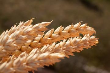 sheaf of wheat under the sun