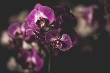 Orchidee tristi