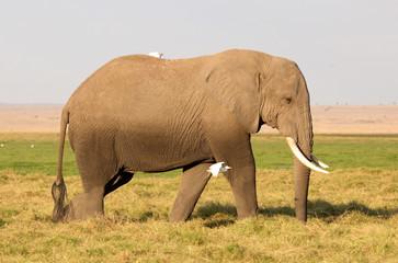 goßer Elefant
