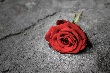 Rosa, Rossa, Fiore, terra