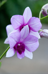 Dendrobium orchid flower