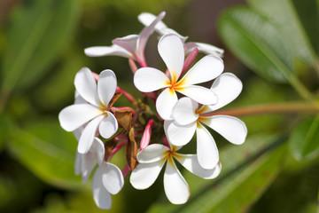 beautiful frangipani flowers on green background
