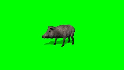 boar stands and looks around -green screen