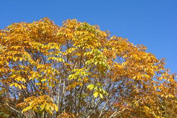 トチノキの紅葉と空