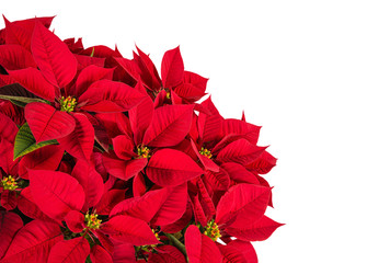 Red poinsettia flower (Euphorbia pulcherrima) isolated on white