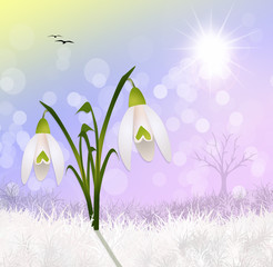 snowdrop in the snow