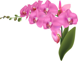 beautiful large pink orchids isolated on white