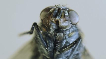 House fly macro
