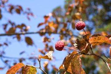 ヤマボウシの実と紅葉