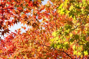 秋のオオモミジとハウチワカエデの葉