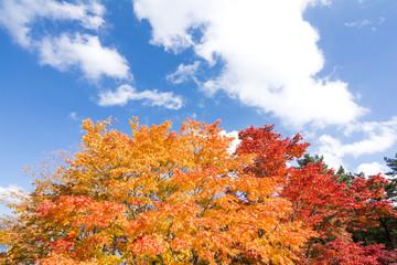 赤とオレンジのオオモミジの紅葉