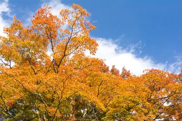 オレンジ色のオオモミジの紅葉と空