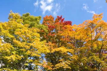 カラフルな葉のオオモミジの木