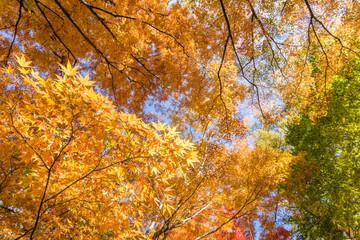 林の中のイロハカエデの黄葉